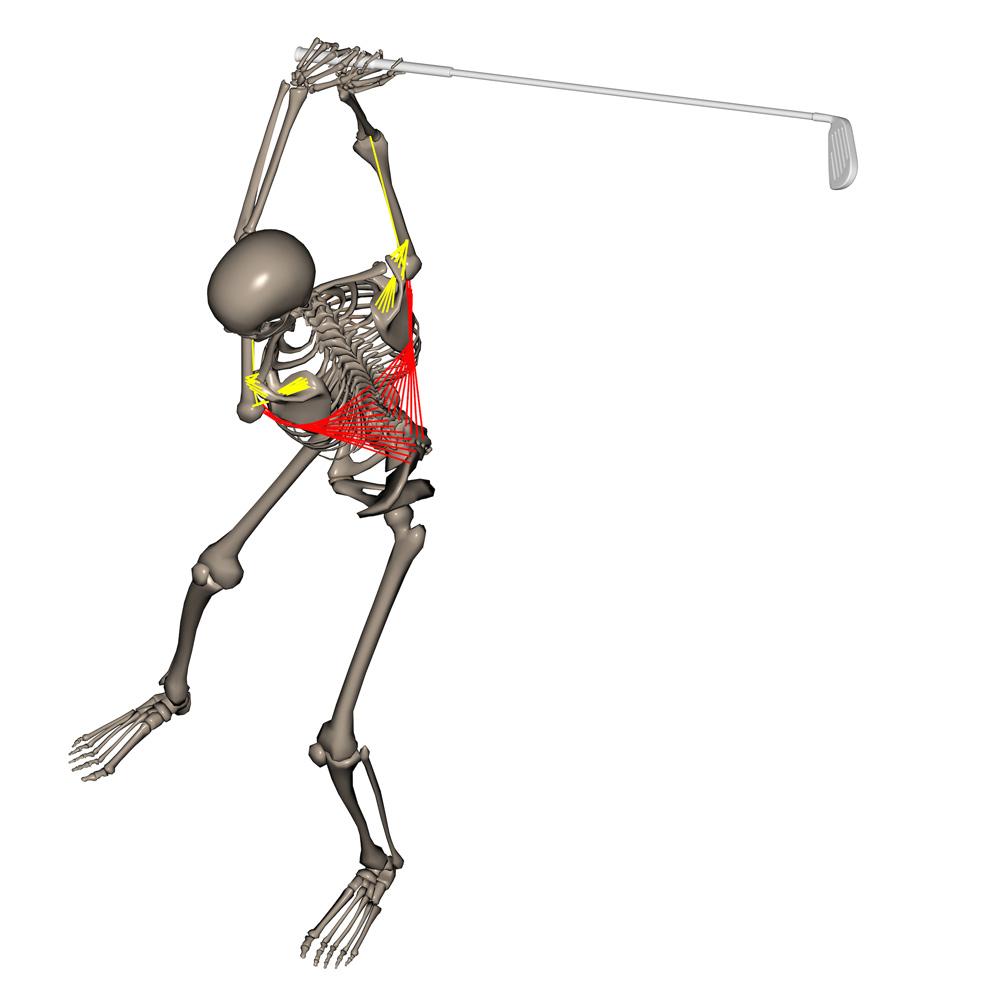 Golf spielender Skelettmann von Christian Neumaier - Anatomie - m. latissimus dorsi - Golf Biomechanik